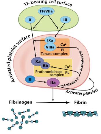 Perioperative Management of New Anticoagulants: Novel Drugs and