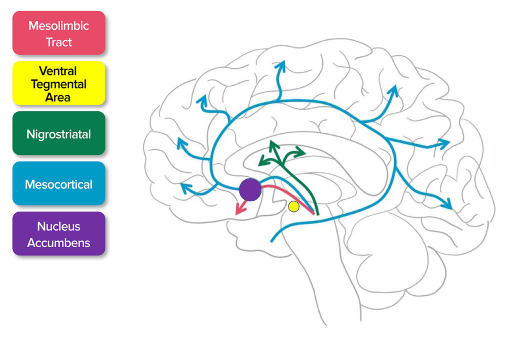 """Figure 1. Release of Dopamine. Dopamine activates the mesolimbic, mesocortical tract, and nigrostriatal pathways. This pathway extends from ventral tegmental areas to the nucleus accumbens which is responsible for the euphoric feeling after using methamphetamine.<sup>7</sup><br /> Source: Adapted from SITNBoston. Haynes et al, 2018.<sup>7</sup><br /> <a href=""""https://sitn.hms.harvard.edu/flash/2018/dopamine-smartphones-battle-time/"""" target=""""_blank"""" rel=""""noopener"""">https://sitn.hms.harvard.edu/flash/2018/dopamine-smartphones-battle-time/</a><br /> Accessed April 16, 2021."""