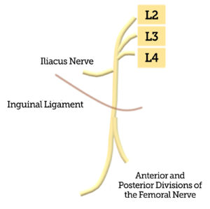 Figure 1. Illustration of the femoral nerve coursing underneath the inguinal ligament, and the iliacus nerve branching off more proximal to the inguinal ligament.